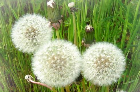 민들레 뿌리 – Dandelion Roots